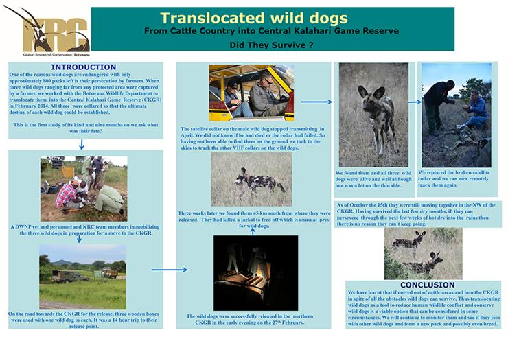 Wild dogs translocation