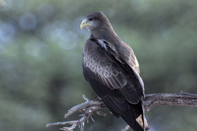 Yelowbilled Kite