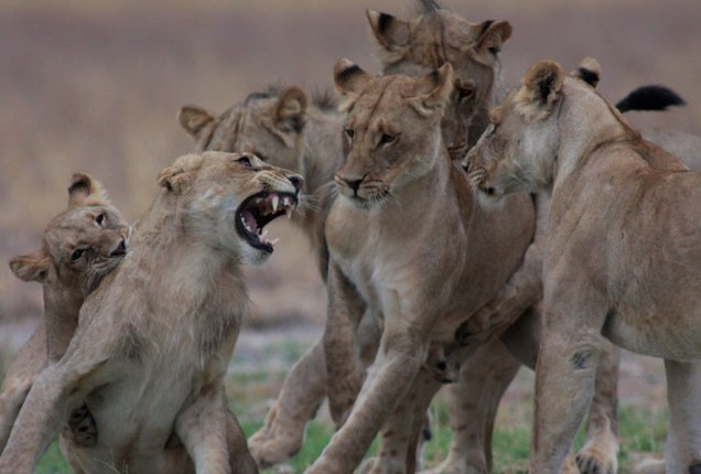 Lions in the CKGR