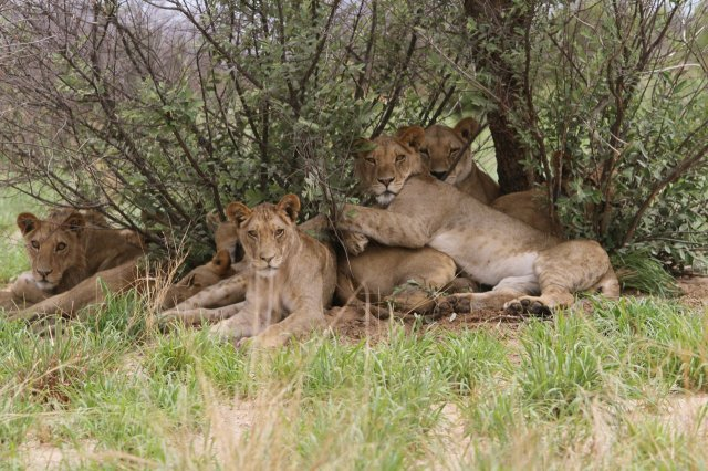 Lions looking for shade