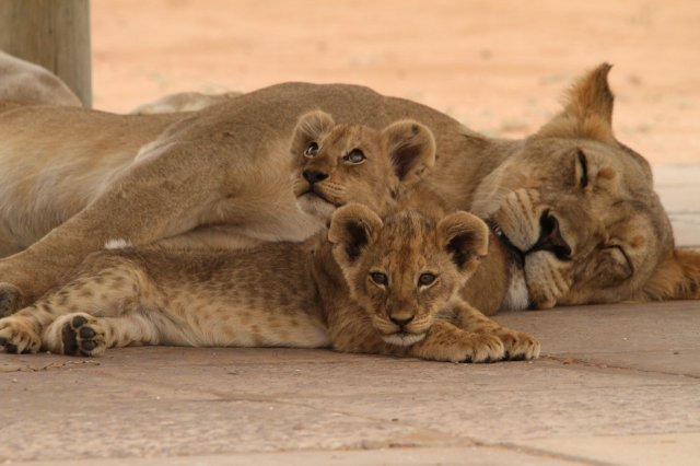 Young lions with their mother